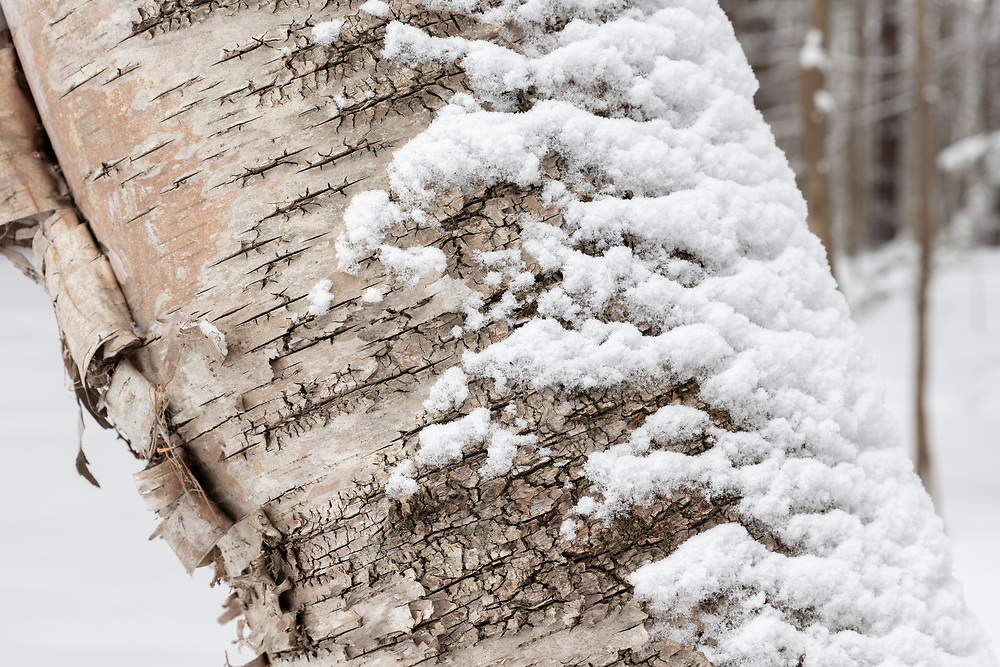 https://Duncan.co/birch-tree-closeup-and-snow
