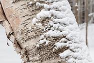 https://Duncan.co/birch-tree-closeup-and-snow