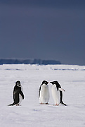Adelie Penguins on the sea ice their way to their nests stop to socialize.