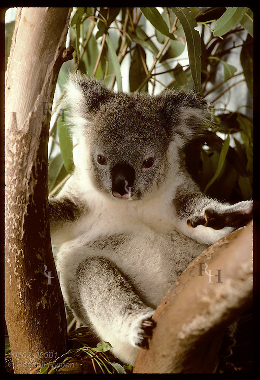 Orphaned 9-month-old koala sits in fork of tree in his cage at Eprapah rehab center;(v)Brisbane Australia