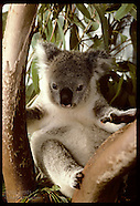 03: KOALAS ORPHANED YOUNG