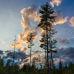 White pines at sunset in the Reed Plantation in Reed, Maine,