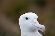 Diomedea epomophora (Southern royal albatross)