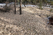 Photo Randy Vanderveen.south of Grande Prairie.Chips from trees are spread along the ground. The chips are small enough that any beetle or larvae inside will dry out and freeze because of the lack of insulation.
