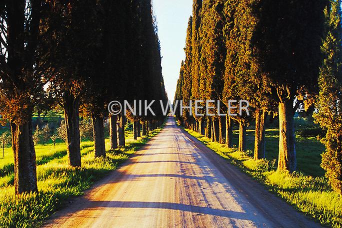 Road lined with poplar trees, Tuscany, Italy