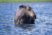 Moose (Alces alces) feeding in lake , Muskwa-Kechika, British Columbia, Canada