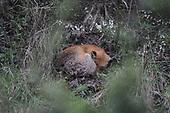 Fox sleeping, spring