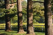 Row of pine tree trunks.