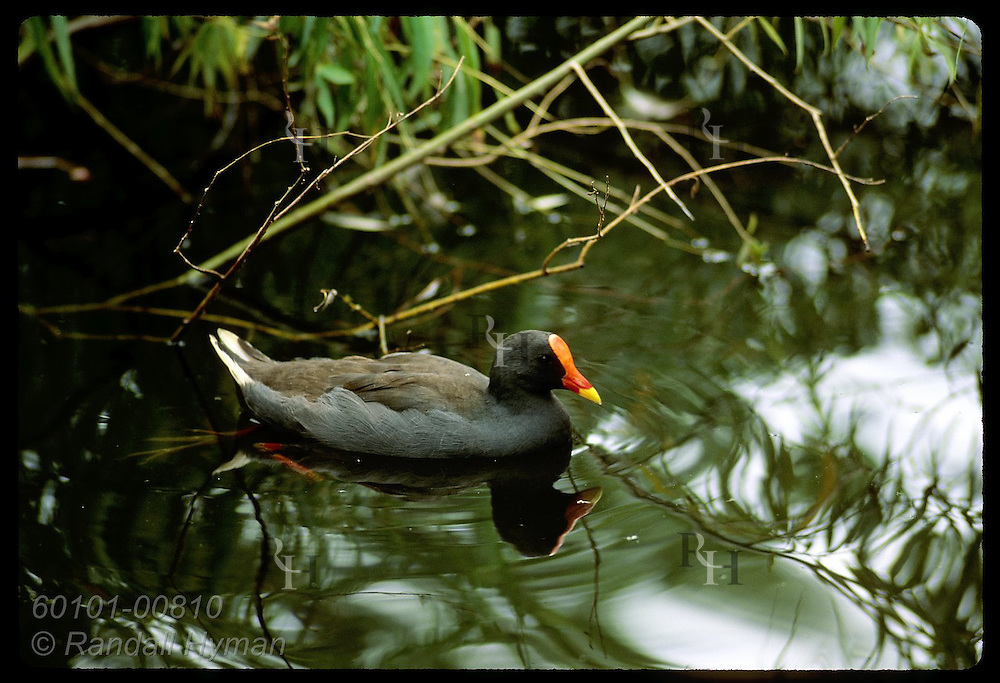 Water hen swims amid twigs and foliage on lagoon in park in Wagga Wagga, New South Wales. Australia
