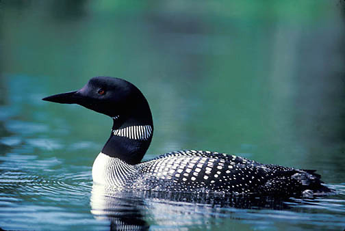 Common Loon, (Gavia immer) Adult floating on lake surface, staying close to nesting area. Summer. Northern Minnesota.