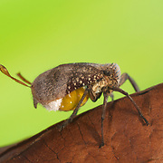Beetle planthopper, of the order Eurybrachydae (Hemiptera).