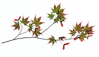 Branch of Japanese Maple  on white background