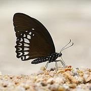 Papilio castor mahadeva, The Siamese Raven butterfly.  Chaloem Phrakiat Thai Prachan National Park, Thailand.