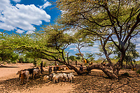 Cattle and sheep at an encampment of Hamer tribe people, Omo Valley, Ethiopia.