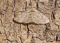 Geometrid Moth, Iridopsis sp.<br /> Photographer: Wade Grassedonio<br /> Ranch: Texas Photo Ranch - River Revocable Surface, LLC - River Testamentary Surface, LLC<br /> Refugio County