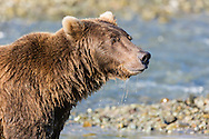 Brown bear (Ursus arctos) in search of spawning salmon in Geographic Creek at Geographic Harbor in Katmai National Park in Southwestern Alaska. Summer. Morning.