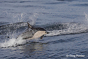 short-beaked common dolphins, Delphinus delphis, porpoising out of the water at high speed, off San Diego, California, U.S.A. ( eastern Pacific Ocean )