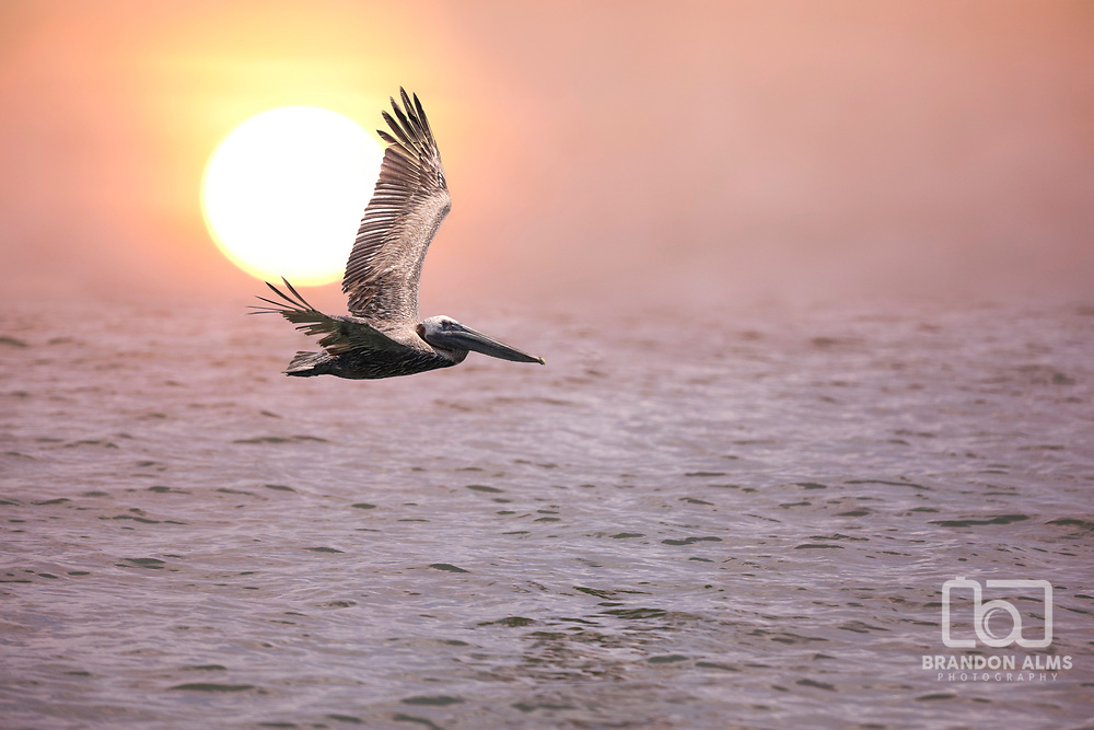 Pelican captured in flight along a Florida coast at sunrise. Photo by Brandon Alms Photography