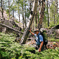A backpacker fords hip-deep ferns among old-growth aspens deep in the backcountry of Montana's Rattlesnake Wilderness.