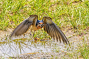 swallow gathering mud for its nest