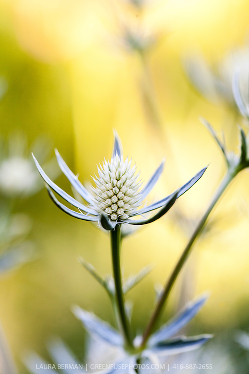 Jack Frost Sea Holly (Eryngium planum 'Jack Frost')