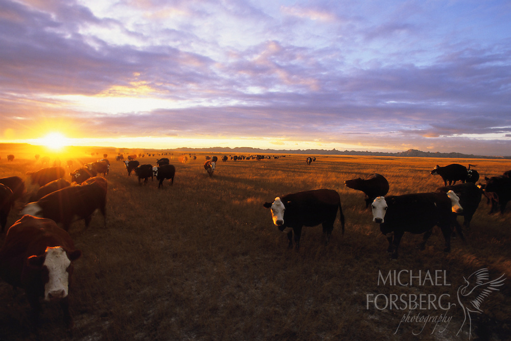 Cattle graze on a prairie dog town at sundown. Grazing leases and cattle ranching are an integral, although often volatile, part of the history of the National Grasslands as politics over everything from prairie dog controls, to endangered species act legislation, to private versus public rights, to overgrazing, and to water rights overshadow the intent of managing these lands for healthy grassland ecosystem and biodiversity.  Buffalo Gap National Grassland, South Dakota.