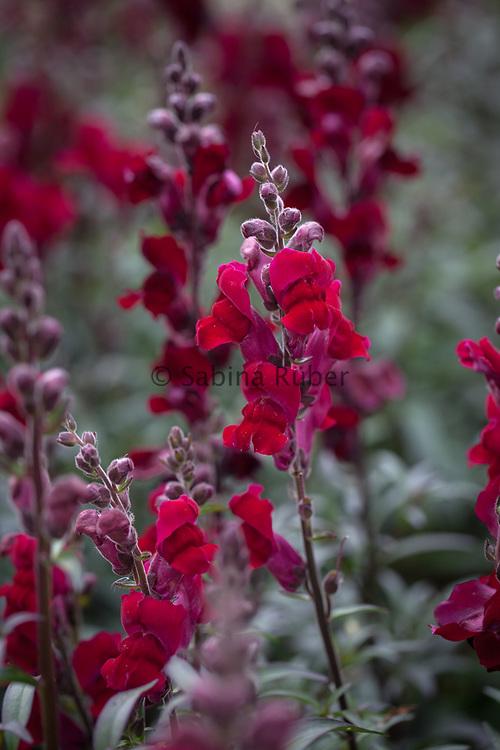 Antirrhinum majus 'Crimson Velvet' - snapdragon