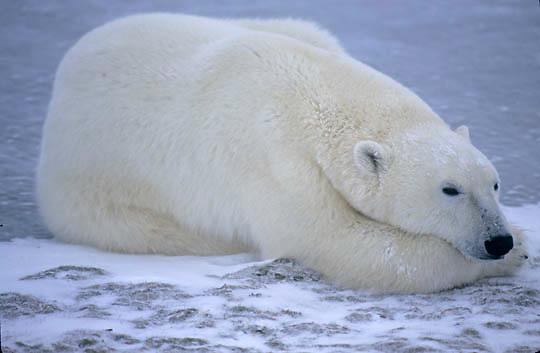 Polar Bear, (Ursus maritimus) Resting on frozen ice of Churchill, Manitoba. Canada.