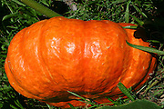 huge orange pumpkin