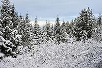 Fresh snow covering trees in Heidmork, near Reykjavik, Iceland. Vetrarstemning í Heiðmörk. Nýfallinn snjór situr á greinum.
