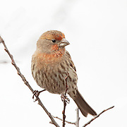 Male House Finch on tree branches in snow