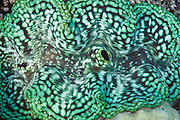 Fluted Giant clam (Tridacna squamosa) - Agincourt reef, Great Barrier Reef, Queensland, Australia.