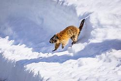 THEMENBILD - ein Murmeltier überquert die Grossglockner Hochalpenstrasse, aufgenommen am 20. April 2018 in Fusch an der Glocknerstrasse, Österreich // a marmot crosses the Grossglockner High Alpine Road, Fusch an der Glocknerstrasse, Austria on 2018/04/20. EXPA Pictures © 2018, PhotoCredit: EXPA/ JFK