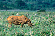 White Rhinoceros grazing on the plains of the Masai Mara National Reserve, Kenya, Africa