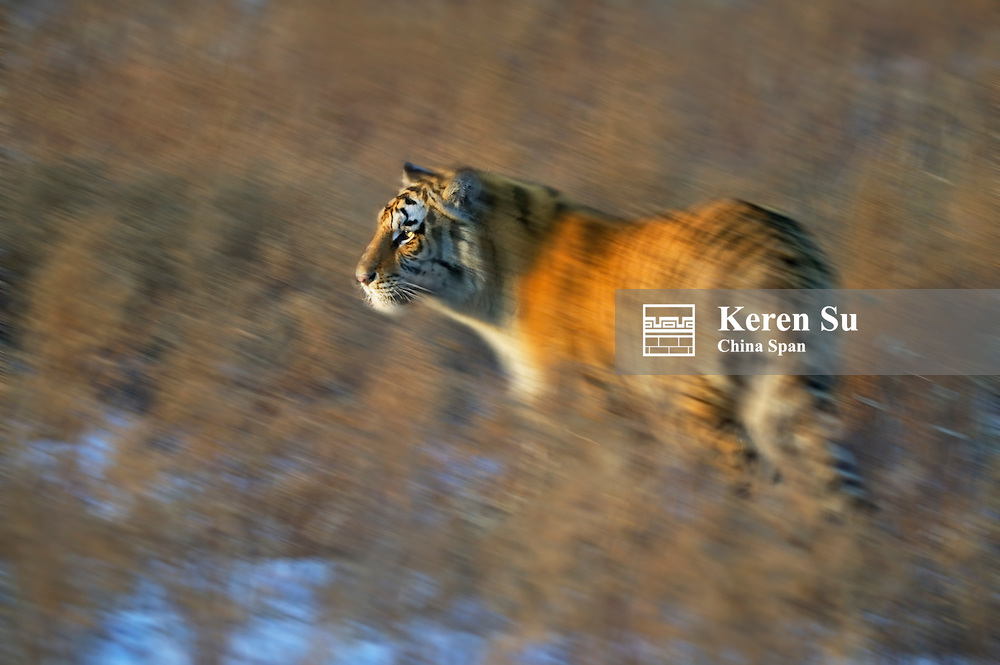 Siberian Tiger in the grass, North China