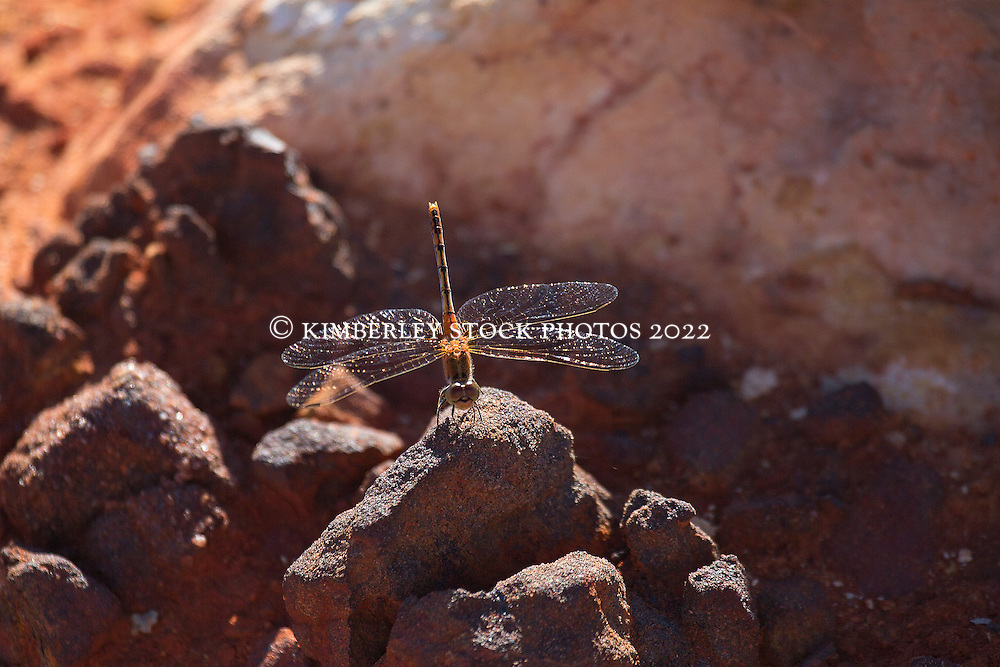 A dragonfly rests on a rock at Gantheume Point in Broome, Western Australia.