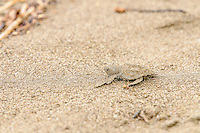 Olive Ridley Turtle [Lepidochelys olivacea] hatchling, newly emerged in hatchery,  are released far up on the beach to allow imprinting and make their way to the sea;  Playa Baru, Hacienda Baru Wildlife Refuge, Costa Rica
