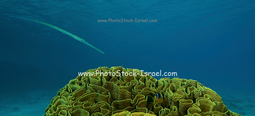 A Trumpetfish, Aulostomus maculatus, whose maximum length is 100 cm (3 ft 3 in) and which has many color phases and patterns. They prey on small fish and crustaceans. Photographed in the Red Sea Israel