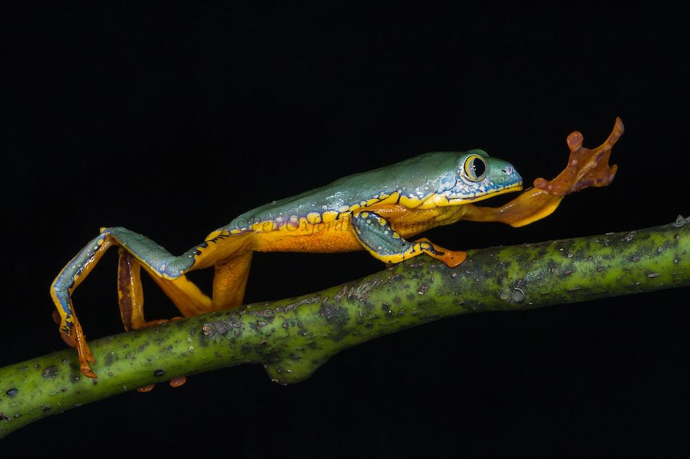 Splendid Leaf Frog (Cruziohyla calcarifer)<br /> CAPTIVE<br /> West Ecuador<br /> ECUADOR. South America<br /> Threatened species due to habitat loss.<br /> RANGE: Colombia, Costa Rica, W Ecuador, Nicaragua, Panama,  Tropical and subtropical humid lowlands. 30-170m.<br /> Gliding frog