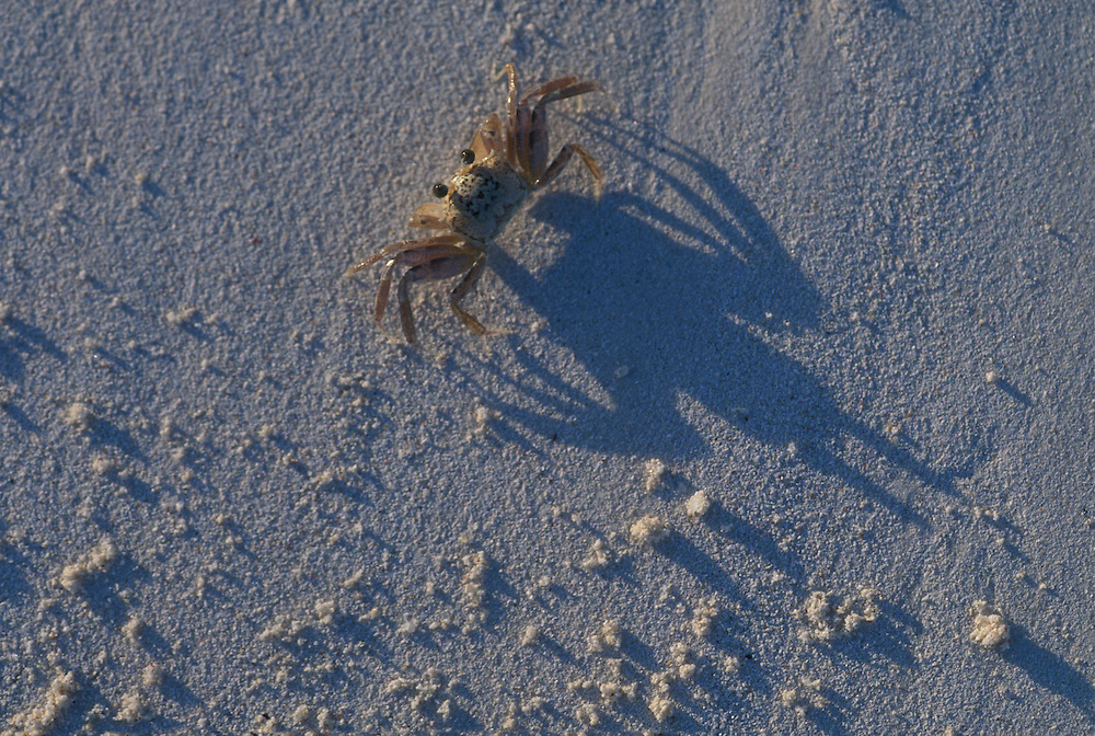 Africa, Kenya, Watamu, Close-up macro detail of small crab casting long shadow in sand on beach along Indian Ocean