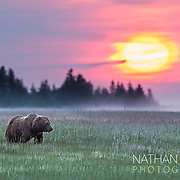 Coastal Brown bear grazing in sedge meadow at sunrise;  Lake Clark, Alaska .