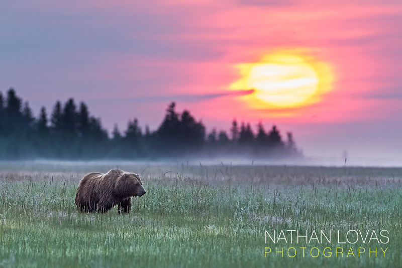 Coastal Brown bear grazing in sedge meadow at sunrise;  Lake Clark, Alaska .