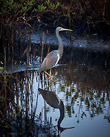 Great Blue Heron hunting for breakfast. Merritt Island National Wildlife Refuge. Image taken with a Fuji X-T2 camera and 100-400 OIS lens