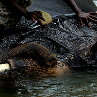 PINNAWELA, OCTOBER-3 : Chandana, a 20 year old mahout, scrubs tusker Thummana in the Ma Oya river in Pinnawala, October 3, 2005, Sri Lanka, Chandana is the nephew of legendary mahout K.D. Sumanabanda and has lived in the orphanage for three years. He says he wants to follow in to the footsteps of his uncle.PINNAWELA, OCTOBER-3 : an elephant greets a visitor   in Pinnawela, October 3, 2005, Sri Lanka.   .The Pinnawela orphanage was started in 1975 and initially designed to afford care and protection to the many baby elephants found in the jungle without their mothers. In most cases the mother either had died or been killed. .Animals are allowed to roam freely duringthe day and a herd structure allows to form. there are only a few elephant orphanges worldwide. At Pinnawela an attempt was made to simulate, in a limited way, the conditions in the wild. Currently the herd consists of 75 elephants under the surveillance of legendary  Mahout chief Sumanabanda.