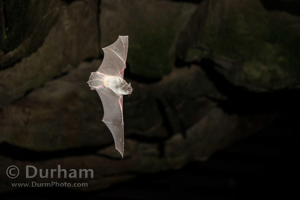 Gray bat (Myotis grisescens) exiting Long Cave in Mammoth Cave National Park, Kentucky. In 1976, M. grisescens was placed on the U.S. Fish and Wildlife Service's endangered species list and put under the protection of the Endangered Species Act