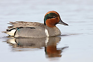 Green-winged Teal - Anas crecca - male