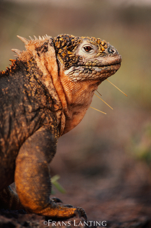 Land iguana with cactus spines in neck, Conolophus subcristatus, Galapagos Islands
