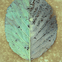 Close up of back of autumn leaf of Whitebeam or Sorbus aria tree with exactly one half pale green and other half pale brown lying on antique paper