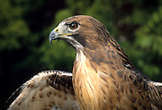 A red-tailed hawk (Buteo jamaicensis) portrait. Oregon.