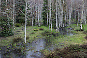 Scenic aspen grove en route to Chama, New Mexico.
